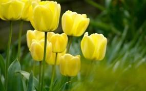 Обои Жёлтые тюльпаны: Сад, Поле, Цветы, Растения, Цветы