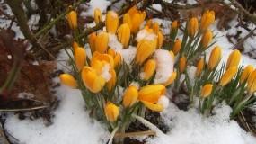 Обои Подснежники: Желтый, Весна, Подснежники, Цветы