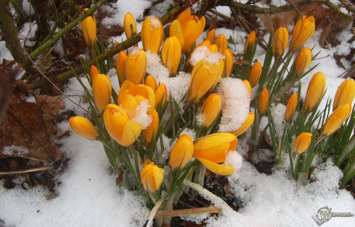 Картинки цветы подснежники 7