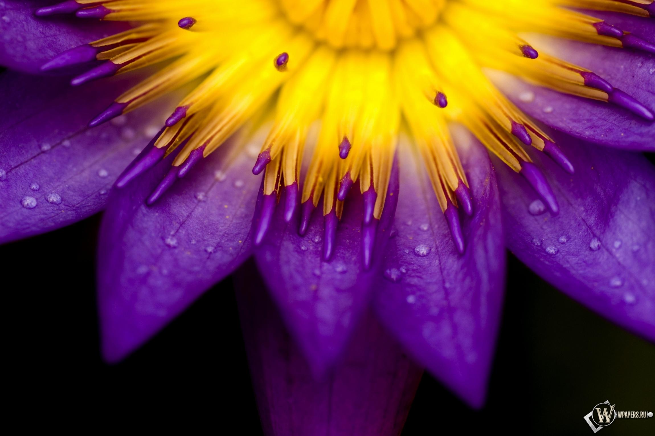 Сиреневый цветок 2300x1530
