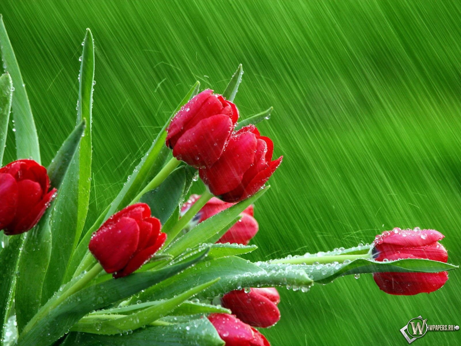 Тюльпаны на зелёном фоне 1600x1200