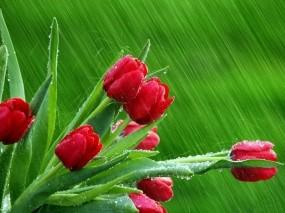 Обои Тюльпаны на зелёном фоне: Капли, Зелёный, Тюльпаны, Цветы