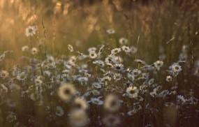 Обои Ромашки на утренней поляне: Природа, Солнце, Трава, Цветы, Лето, Ромашки, Поляна, Цветы