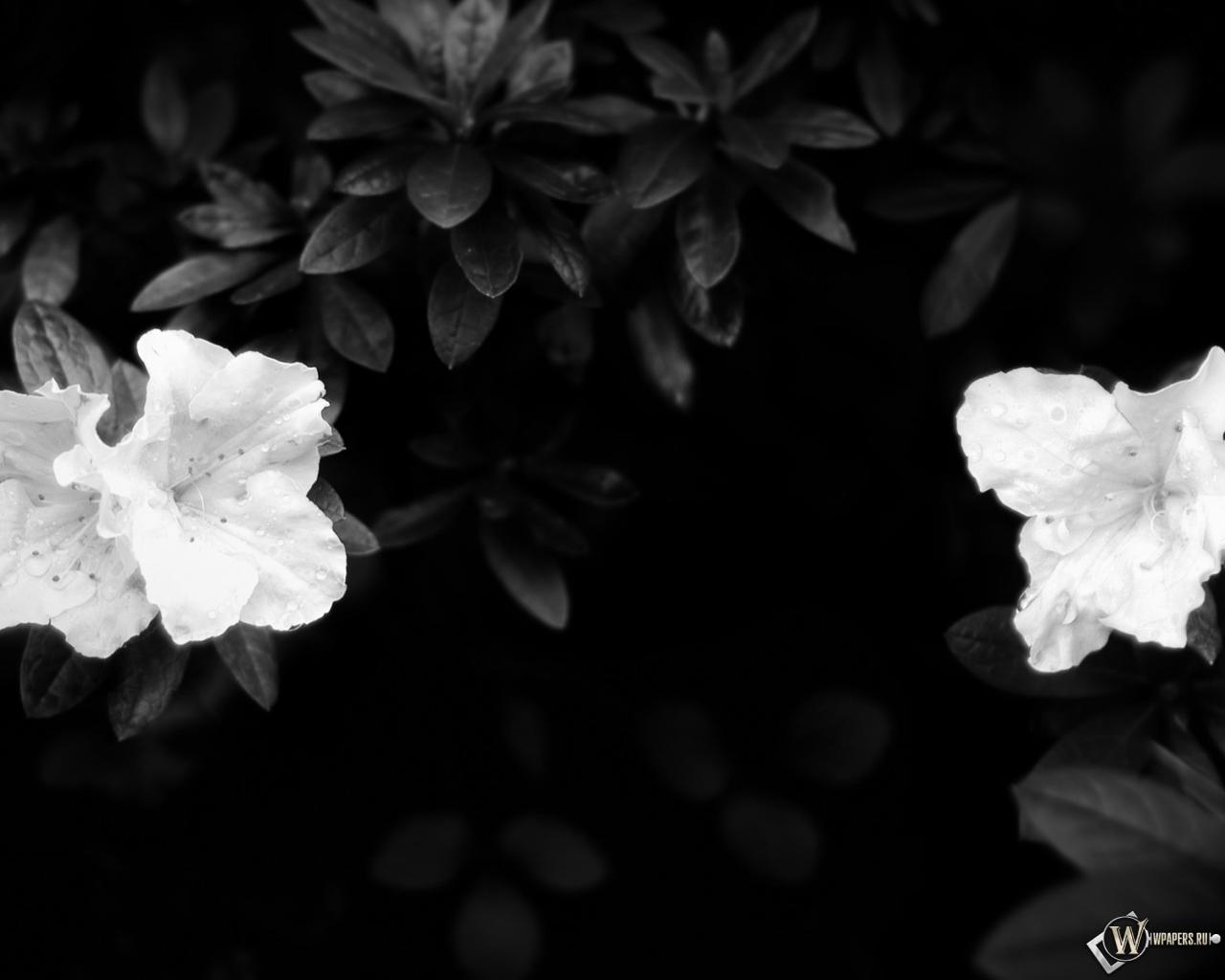 Обои чёрно белые цветы цветы листья