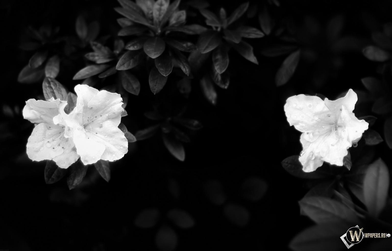 Цветы цветы листья белое 1600x1024