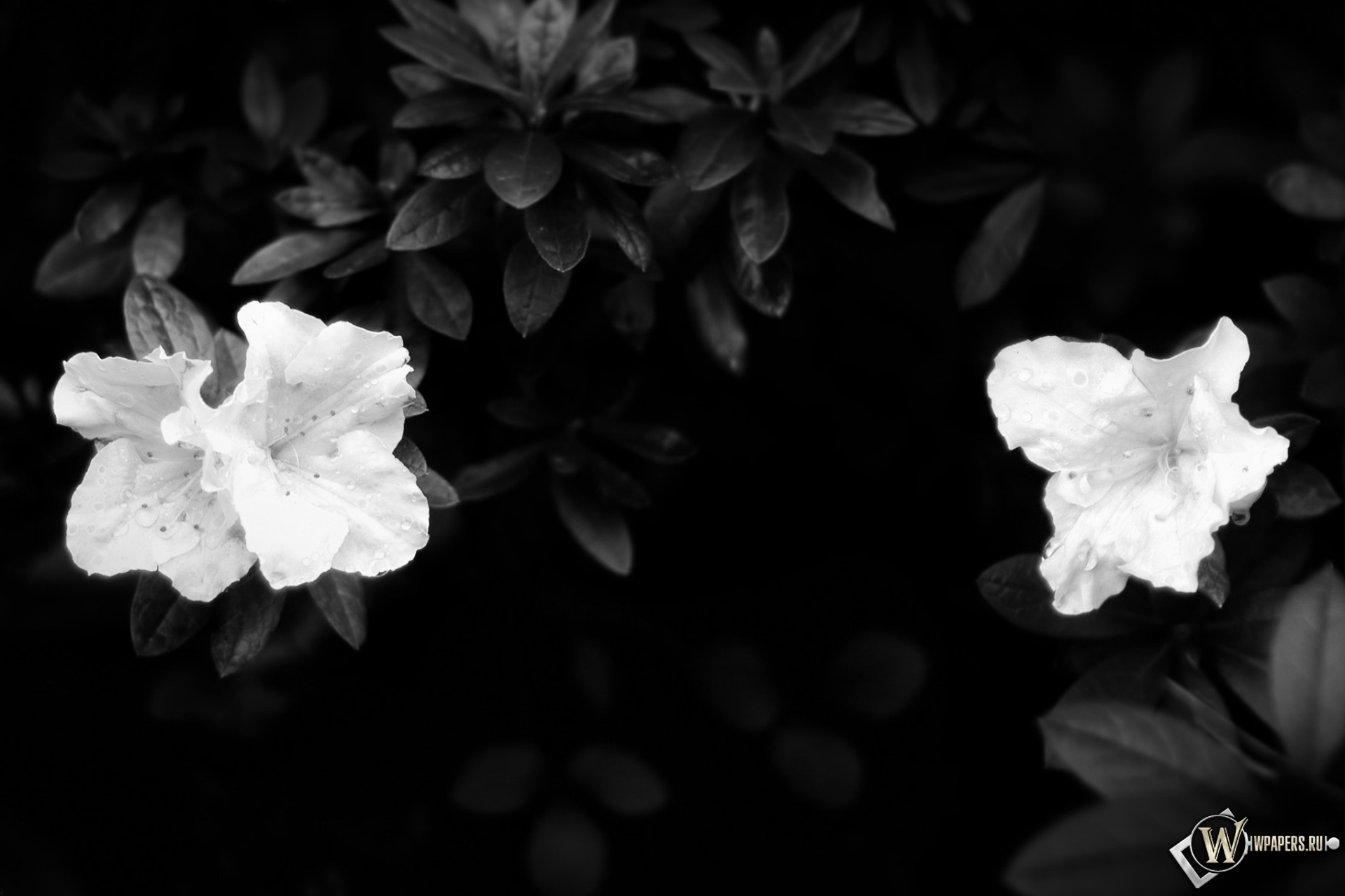 Цветы цветы листья белое 1920x1280