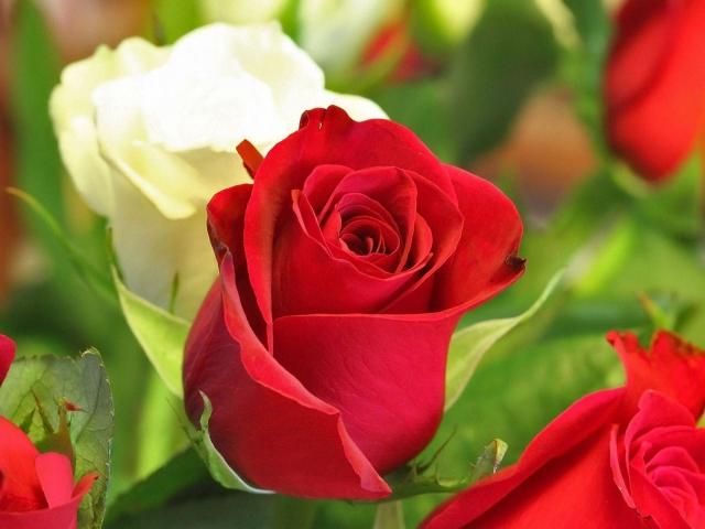 Белая и красная роза