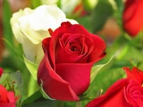 Обои Белая и красная роза: Розы, Бутоны, красные, белые, Цветы