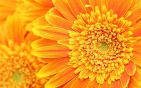 Обои Оранжевые цветы: Лепестки, Цветы, Оранжевый, Цветы
