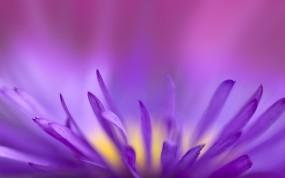Обои Цветок в приближении: Цветок, Фиолетовый, Цветы