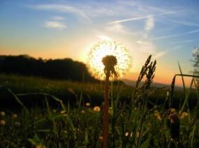 Обои Утренний одуванчик: Солнце, Трава, Одуванчик, Цветы