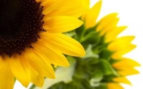 Обои Подсолнухи: Природа, Макро, Цветы, Подсолнух, Цветы