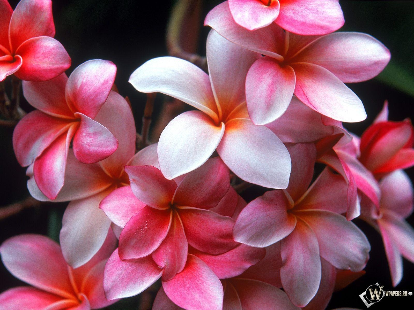 Цветы плюмерии 1600x1200