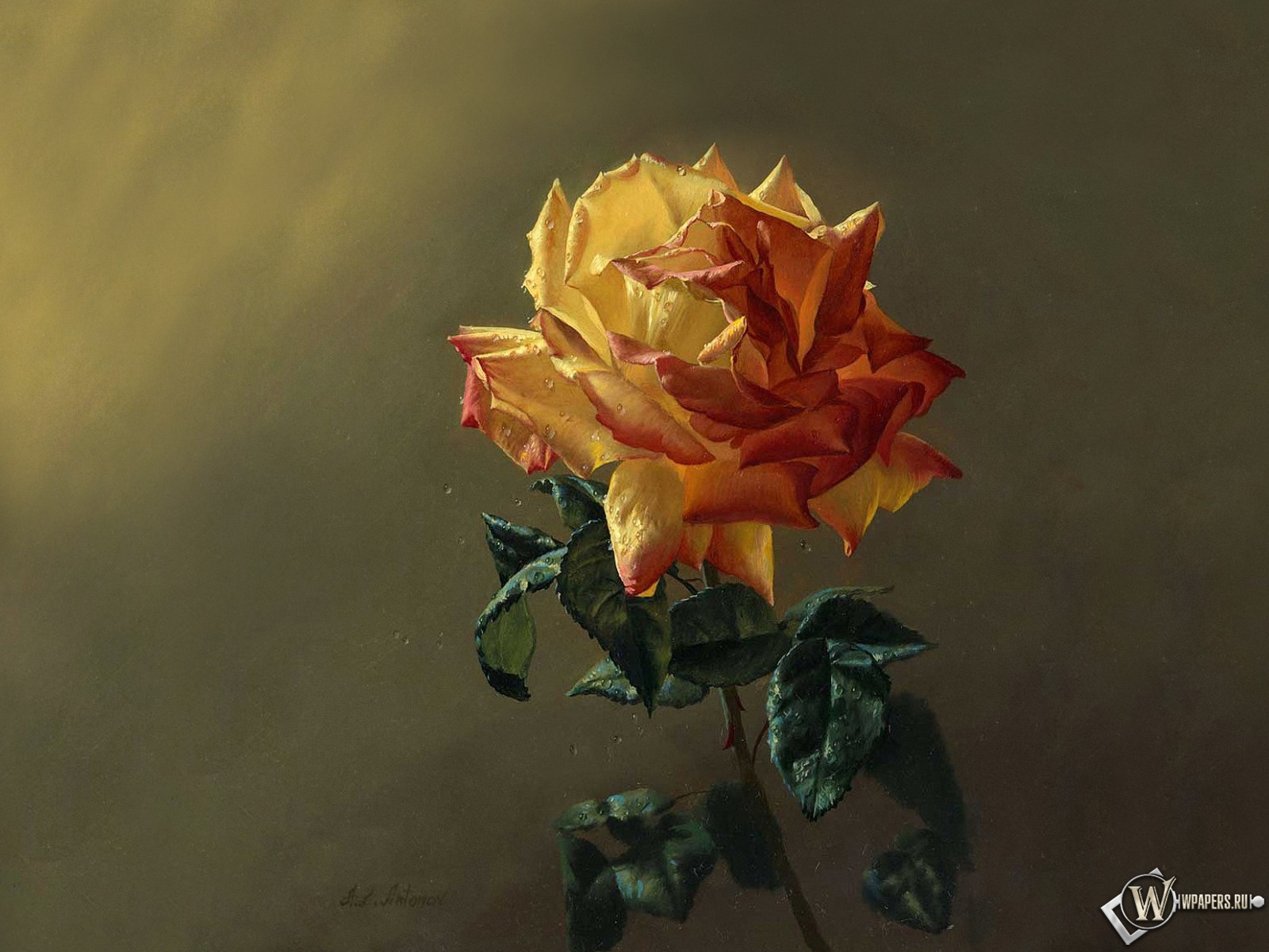 Чайная роза 1600x1200