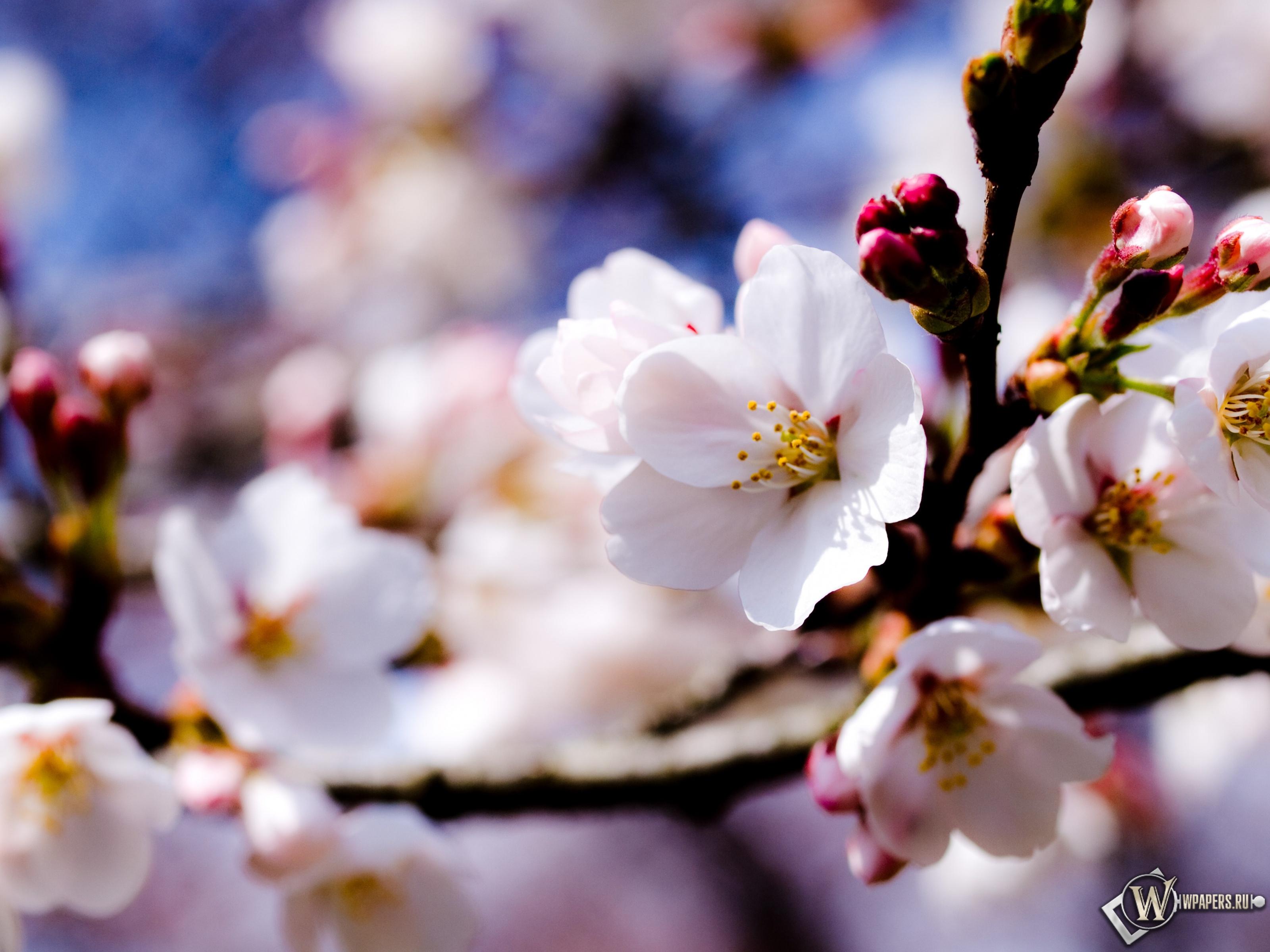 Цветы яблони 3200x2400
