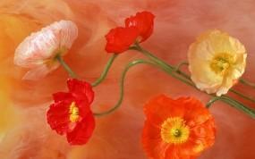 Обои Маки: Рисунок, Цветы, Маки, Цветы