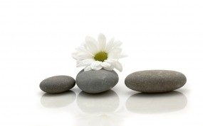 Обои Ромашка на камнях: Цветок, Камни, Ромашка, Цветы