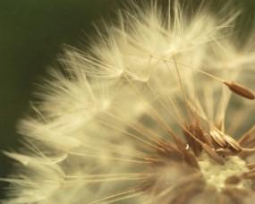 Обои Одуванчик: Одуванчик, макросьемка, Цветы