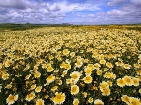 Обои Ромашковое поле в Калифорнии: Небо, Ромашки, Калифорния, Цветы