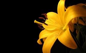 Обои Жёлтая лилия: Минимализм, Желтый, Лилия, Цветы