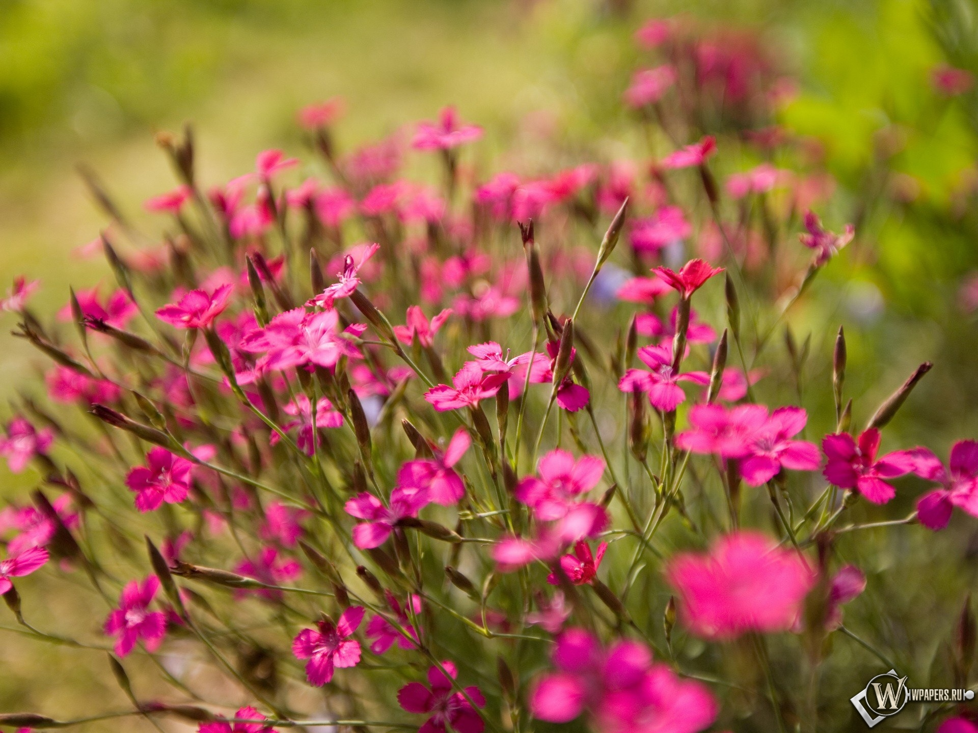 Луговые цветы 1920x1440