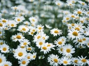 Обои Полевые ромашки: Поле, Ромашка, Цветы