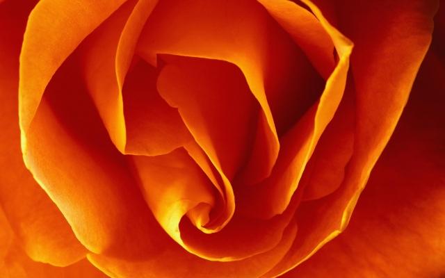 Бутон оранжевой розы