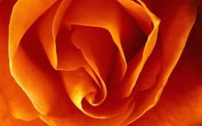 Обои Бутон оранжевой розы: Роза, Макро, Желтый, Цветы