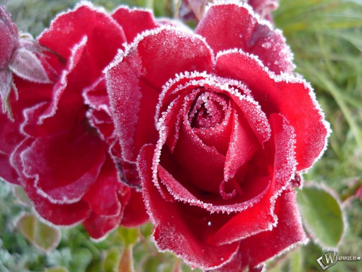 Обои розы в инее иней розы бутоны