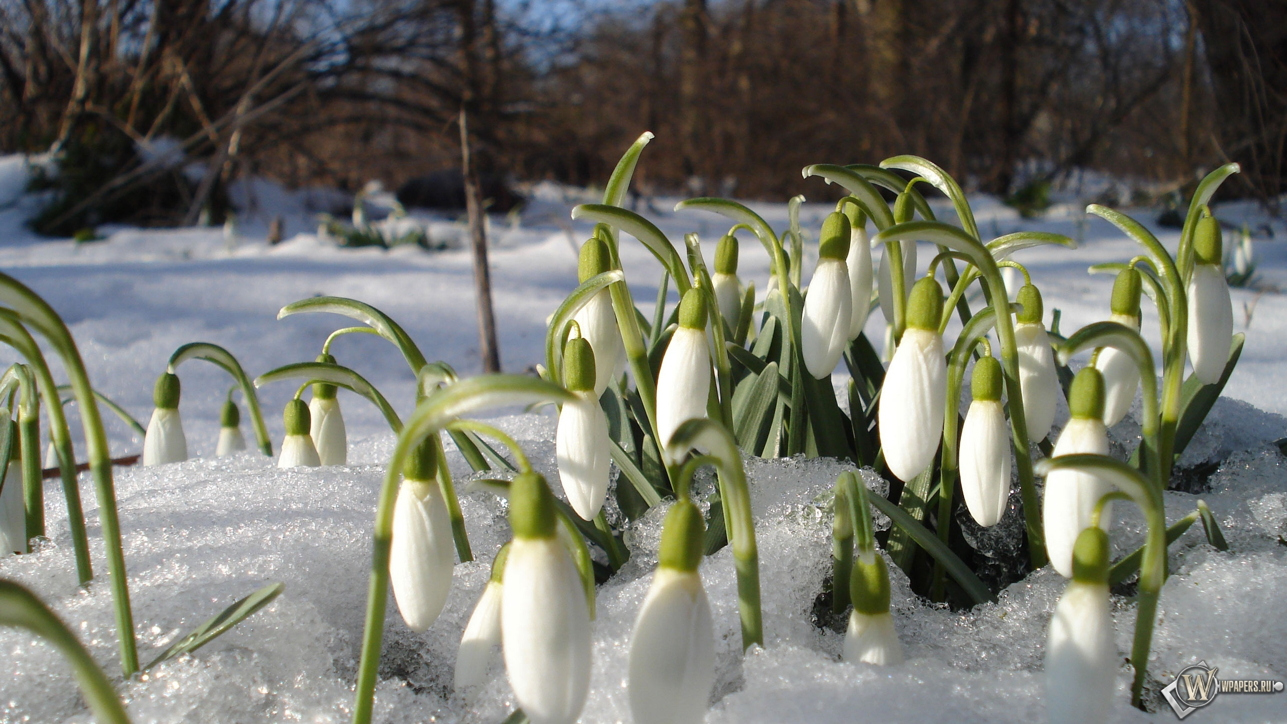 Картинки с весной подснежники