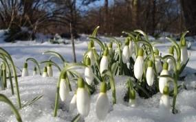 Обои Подснежники: Цветы, Весна, Подснежники, Цветы
