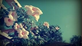 Обои Балконные цветы: Цветы, Листья, Балкон, Цветы