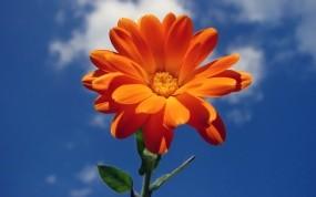 Обои Календула: Облака, Цветок, Небо, Лето, Цветы