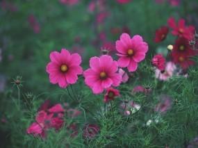 Обои Розовые цветы: Трава, Цветы, Лето, Розовые, Цветы