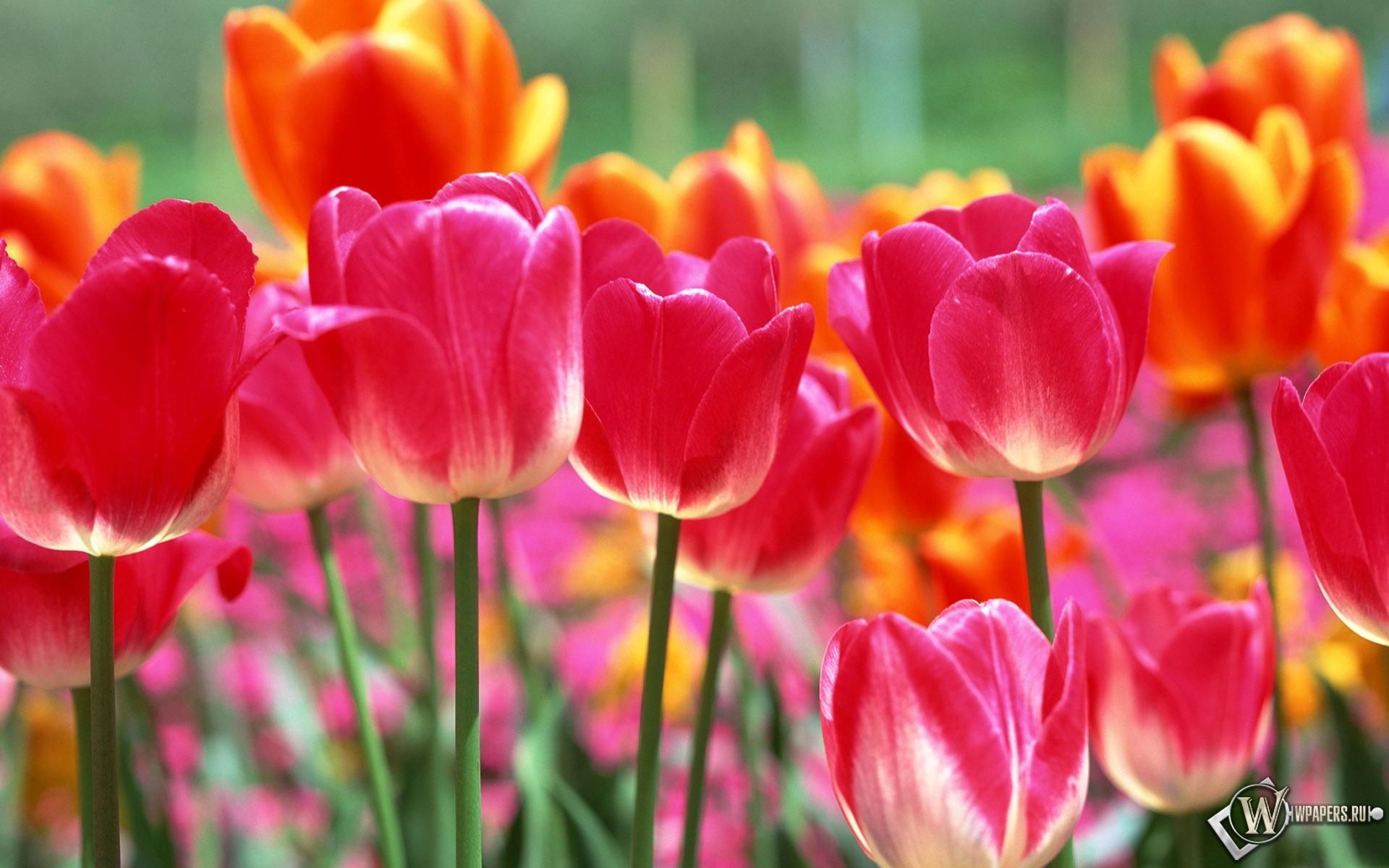 Красивые тюльпаны 1920x1200