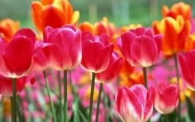 Обои Красивые тюльпаны: Цветы, Тюльпаны, Весна, Цветы