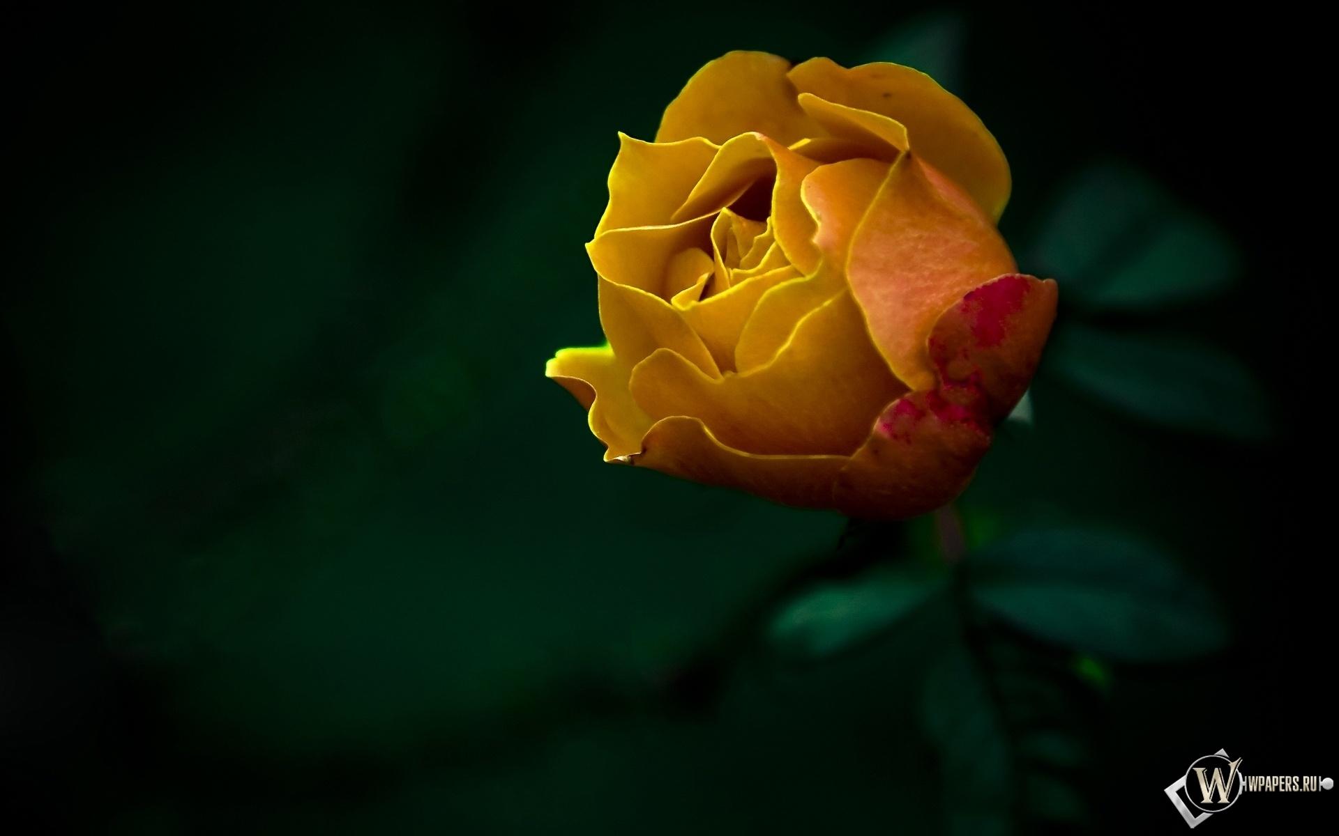 Жёлтая роза 1920x1200