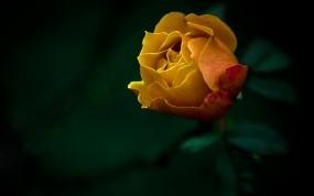 Обои Жёлтая роза: Роза, Цветы, Желтый, Цветы