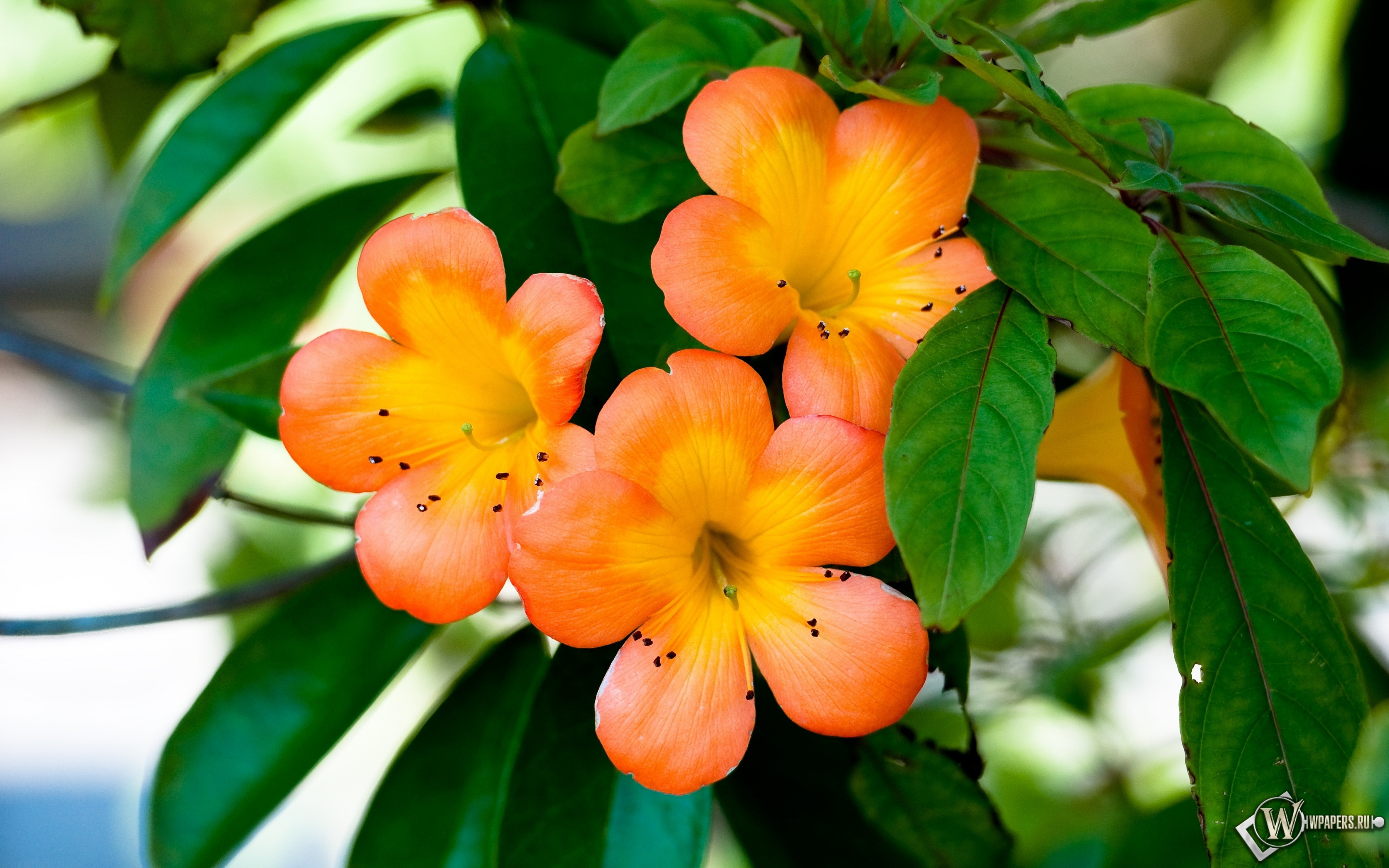 Оранжевые цветы 3840x2400