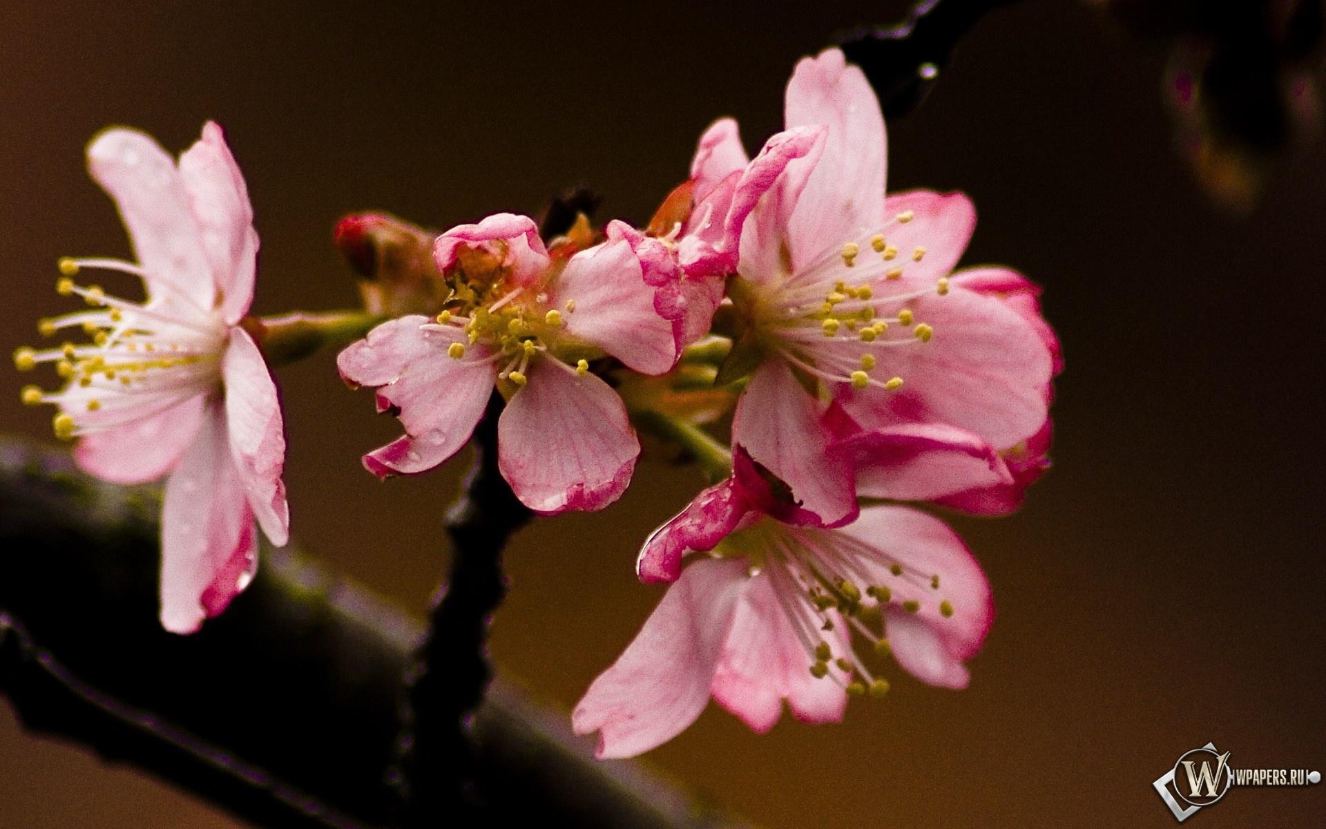 Розовые цветы 1920x1200