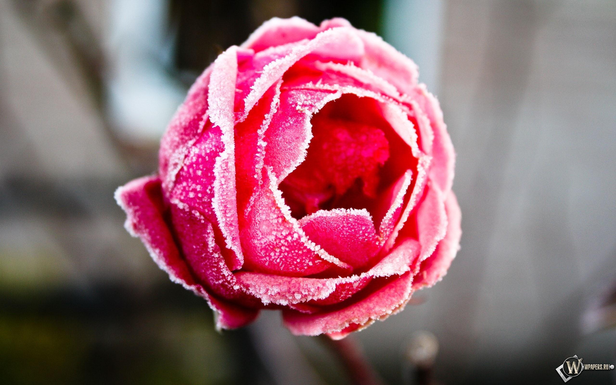 Роза в инее 2560x1600