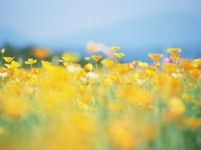 Обои Жёлтая поляна: Солнце, Цветы, Лето, Желтый, Поляна, Цветы