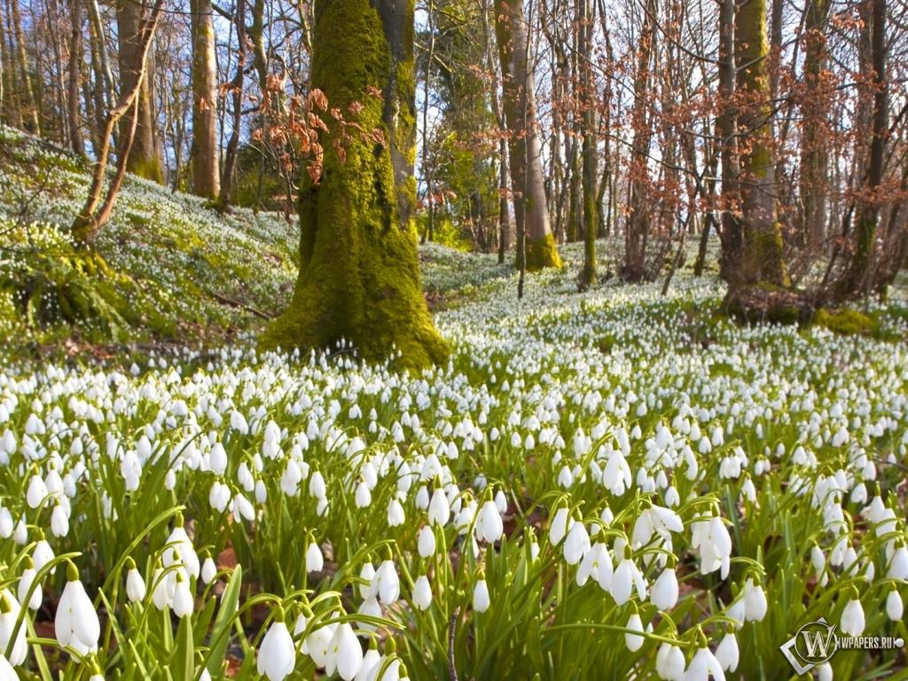 Весна подснежники 1024x768 картинки