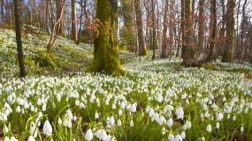 Обои Подснежники: Лес, Деревья, Цветы, Весна, Подснежники, Цветы