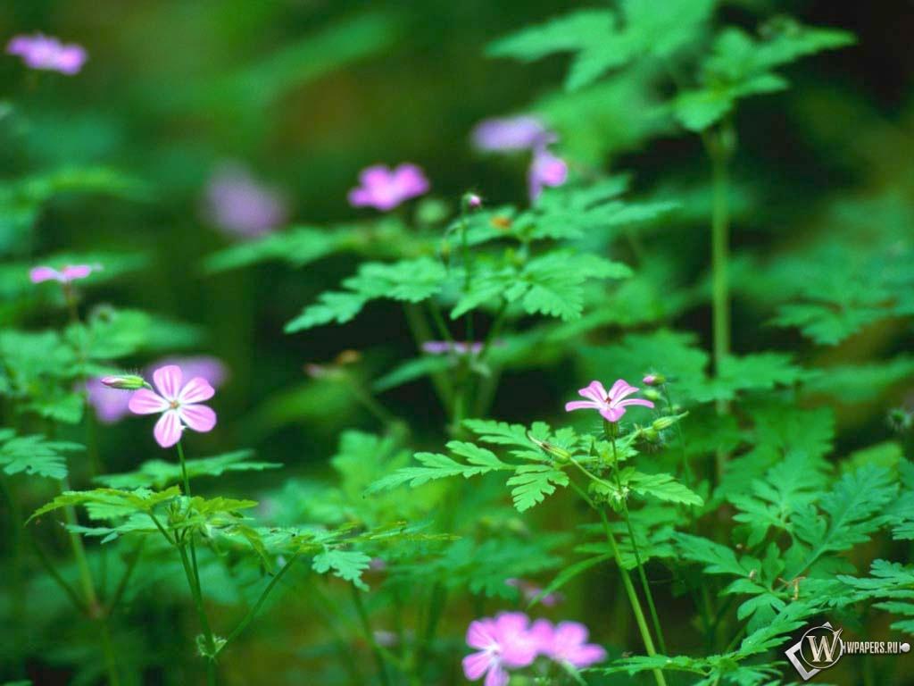Лесные цветы 1024x768