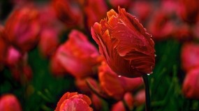 Обои Тюльпаны: Роса, Лепестки, Цветы, Тюльпан, Бутон, Цветы