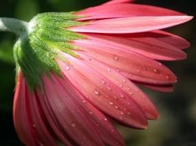 Обои Цветок в росе: Цветок, Роса, Лепестки, Макро, Розовый, Цветы