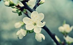 Обои Цветущая вишня: Цветок, Вишня, Белый, Весна, Цветы