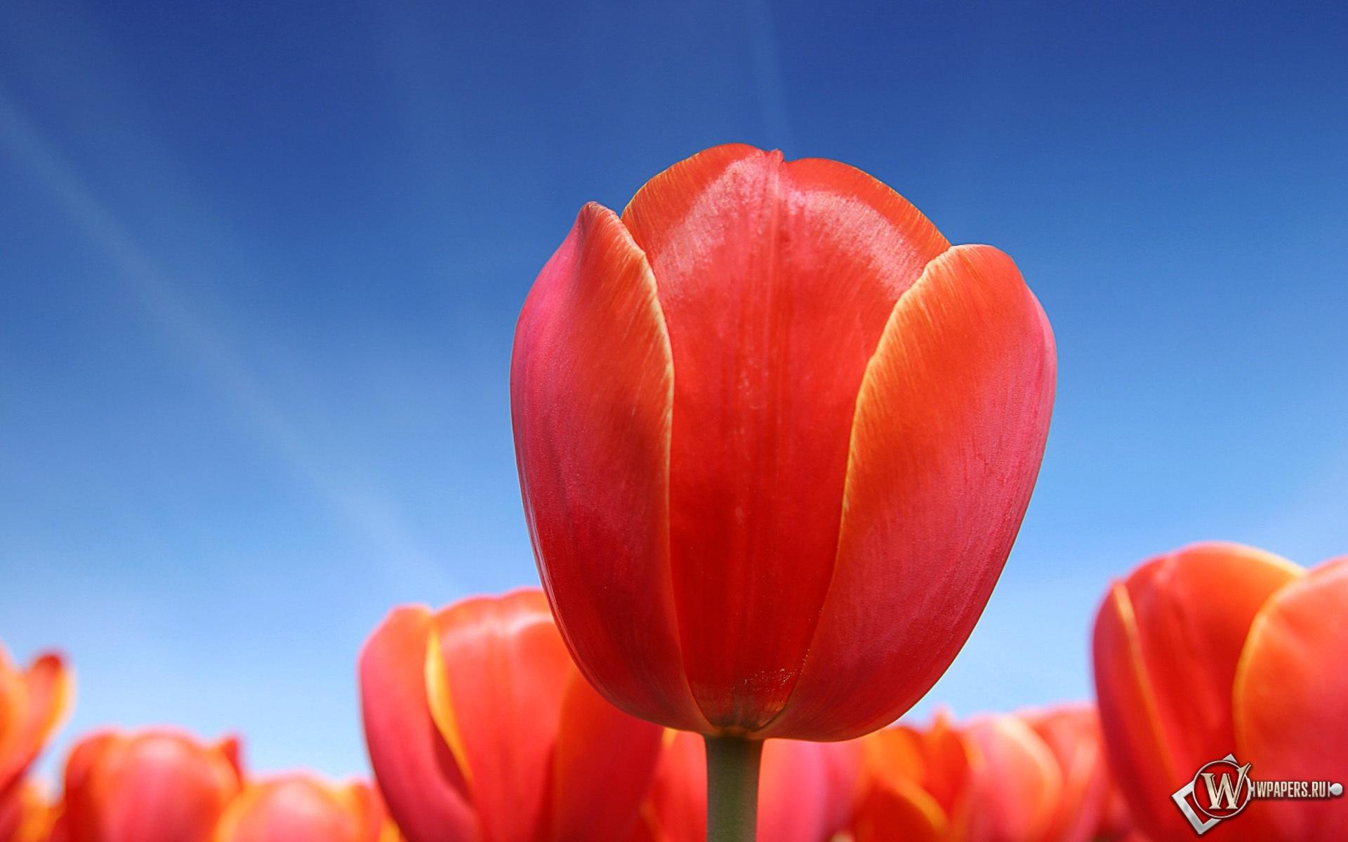 Красные тюльпаны 1920x1200