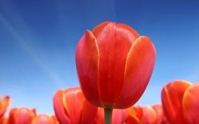 Обои Красные тюльпаны: Небо, Красный, Тюльпаны, Цветы